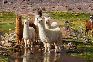 Llama in Argentina by Andrushko Galyna