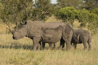 Mother and Young White Rhino, Kruger National Park, South Africa, Africa by Andy Davies