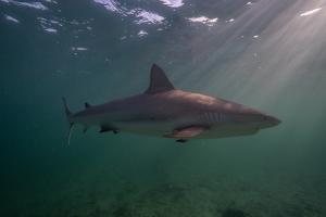 A Carribbean Reef Shark Swims Off the Coast of Cat Island in the Bahamas by Andy Mann