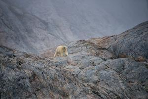 A Curious Polar Bear Approaching a Boat in Defense of His Territory by Andy Mann