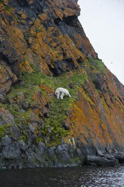 A Polar Bear Descends a Cliff on a Small Island in Search of Little Auks by Andy Mann