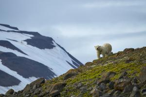 A Polar Bear on a Small Island on the Lookout for Little Auks by Andy Mann