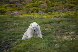 A Polar Bear on Small Island Where He Eats Little Auks by Andy Mann