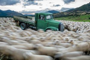 A vortex of sheep swirl around an abandoned truck. by Andy Mann
