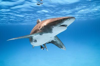 An Oceanic Whitetip Shark makes a close and curious pass. by Andy Mann