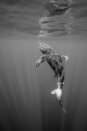 An Oceanic Whitetip Shark swims at the water's surface. by Andy Mann