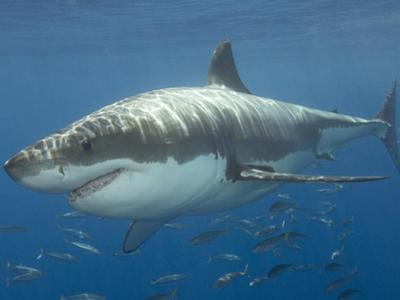 Great White Shark (Carcharodon Carcharias), Pacific Ocean by Andy Murch