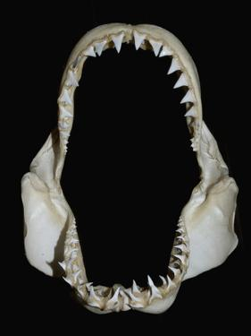 Jaws of a Great White Shark (Carcharodon Carcharias) by Andy Murch