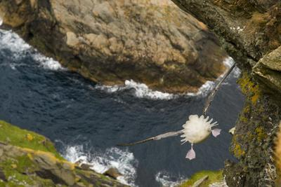 Fulmar (Fulmarus Glacialis) Bird Hanging in Air over Cliffs, Shetland Islands, Scotland