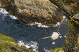 Fulmar (Fulmarus Glacialis) Bird Hanging in Air over Cliffs, Shetland Islands, Scotland by Andy Parkinson