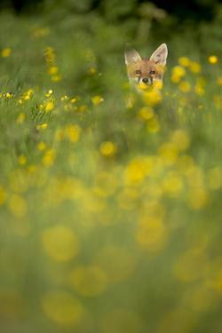 Red Fox (Vulpes Vulpes) in Meadow of Buttercups. Derbyshire, UK by Andy Parkinson