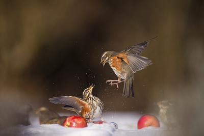 Redwings (Turdus Iliacus) Squabbling over an Apple in Snow