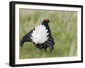Black Grouse Black Cock Moor Cock Displaying on Lek, Upper Teesdale, Co Durham, UK by Andy Sands
