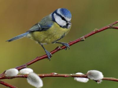 Blue Tit Perched Among Pussy Willow, West Sussex, England, UK