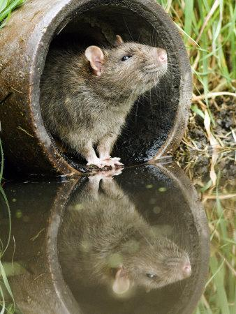 Brown Rat Sniffing Air from Old Pipe, UK