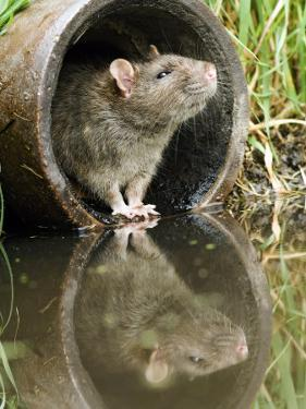 Brown Rat Sniffing Air from Old Pipe, UK by Andy Sands