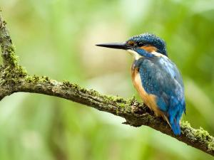 Common Kingfisher Perched on Mossy Branch, Hertfordshire, England, UK by Andy Sands