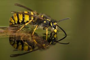 Common Wasp (Vespula Vulgaris) Drinking at Water's Surface from Floating Leaf by Andy Sands