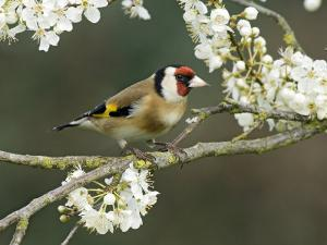 Goldfinch Perched Amongst Blackthorn Blossom, Hertfordshire, England, UK by Andy Sands