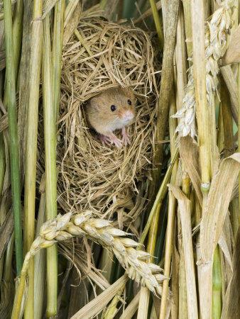 Harvest Mouse Adult Emerging from Breeding Nest in Corn, UK