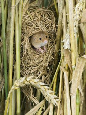 Harvest Mouse Adult Emerging from Breeding Nest in Corn, UK by Andy Sands