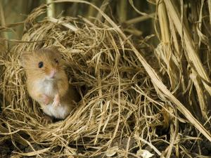 Harvest Mouse Looking Out of Ground Nest in Corn, UK by Andy Sands