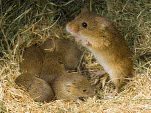 Harvest Mouse Mother Standing over 1-Week Babies in Nest, UK by Andy Sands