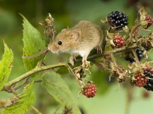 Harvest Mouse on Bramble Amongst Blackberries, UK by Andy Sands