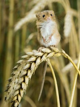 Harvest Mouse Standing Up on Corn, UK by Andy Sands