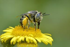 Little Flower Bee (Anthophora Bimaculata) Collecting Pollen From Flower (Pulicaria Dysenterica) by Andy Sands
