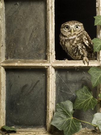 Little Owl in Window of Derelict Building, UK, January