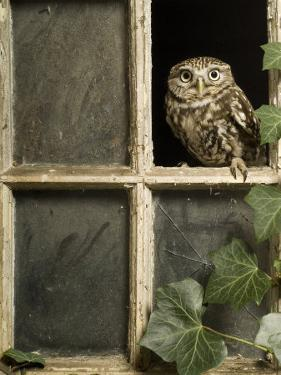Little Owl in Window of Derelict Building, UK, January by Andy Sands