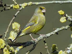 Male Greenfinch Amongst Pussy Willow Catkins, Hertfordshire, England, UK by Andy Sands