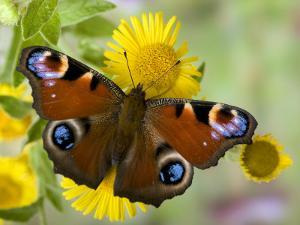 Peacock Butterfly on Fleabane Flowers, Hertfordshire, England, UK by Andy Sands