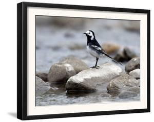 Pied Wagtail Male Perched on Rock in Stream, Upper Teesdale, Co Durham, England, UK by Andy Sands