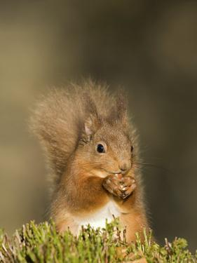 Red Squirrel Feeding, Cairngorms, Scotland, UK by Andy Sands
