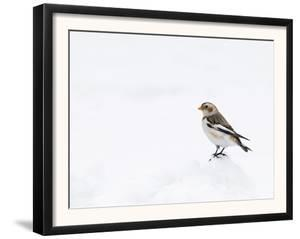 Snow Bunting in Snow, Cairngorms, Scotland, UK by Andy Sands
