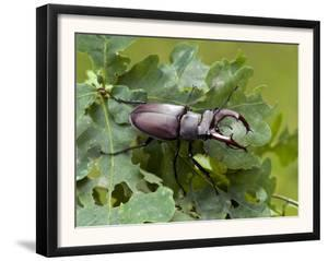 Stag Beetle Male on Oak Leaves, West Sussex, England, UK by Andy Sands
