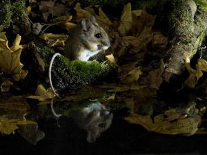 Wood Mouse Cleaning by Woodland Pool in Autumn, UK by Andy Sands