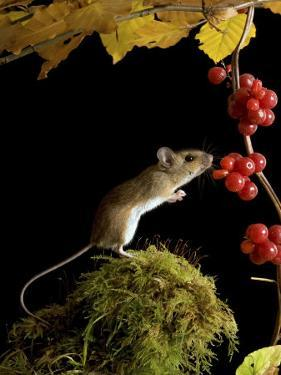 Wood Mouse Investigating Black Bryony Berries, UK by Andy Sands
