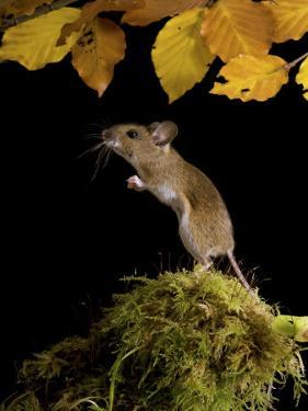 Wood Mouse Standing Up under Beech Leaves in Autumn, UK by Andy Sands