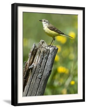 Yellow Wagtail Female Perched on Old Fence Post, Upper Teesdale, Co Durham, England, UK by Andy Sands