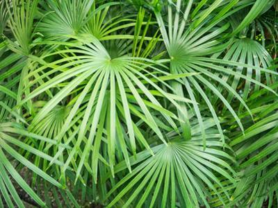 Close up of Tropical Plant (Rhapis Humilis)