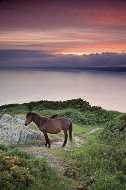 Wild Ponies on Cliffs at Rame Head by Andy Stothert