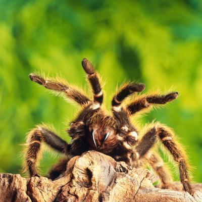 Tarantula, Bird-Eating Spider by Andy Teare