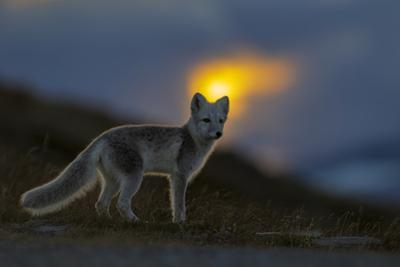 Arctic Fox (Alopex - Vulpes Lagopus) At Sunset, During Moult From Grey Summer Fur To Winter White by Andy Trowbridge