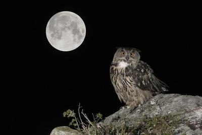 Eurasian Eagle Owl (Bubo Bubo) Adult Perched