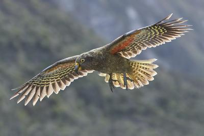 Kea juvenile in flight. Arthur's Pass National Park, South Island, New Zealand