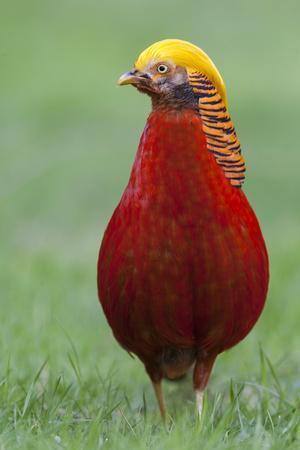 Male Golden Pheasant standing on grass in display plumage. Kew Gardens, England, UK