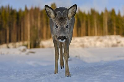 Roe deer young male walking through snow. Close-up, portrait. Norway